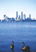Two black swans in Swan River, with Perth skyline