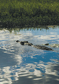 Saltwater crocodile swimming just below the water