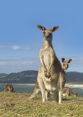 Kangaroos near the coastline
