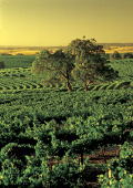 Tree amongst the vineyards in Barossa Valley