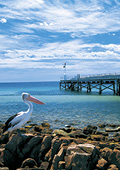 Pelican and wharf at Kangaroo Island
