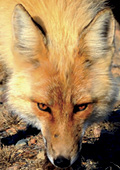 European or 'red fox' are commonly found in urban