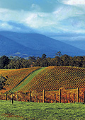 Yarra Valley vinyards with the Dandenong Mountains
