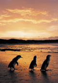 Silhouette of three Little Penguins at sunset on t
