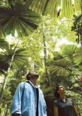 Walking through the giant fan palms in the Daintre