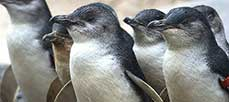 penguins phillip island addon2