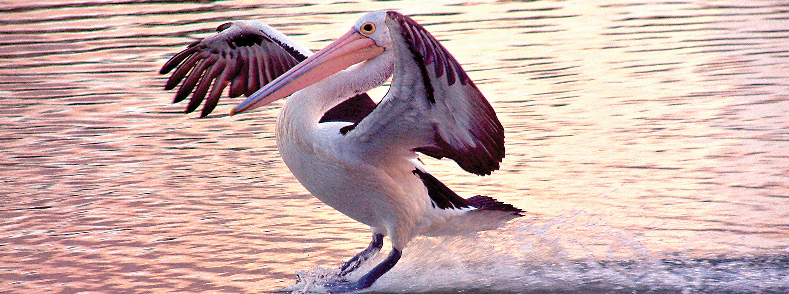 Pelican on the Murray River