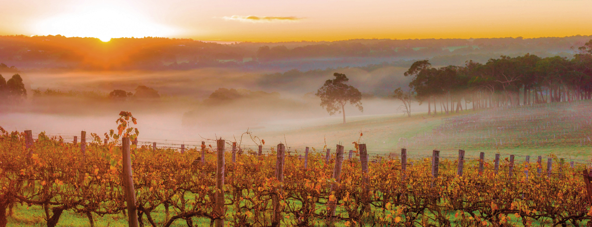 Margaret River Vineyards in Fog