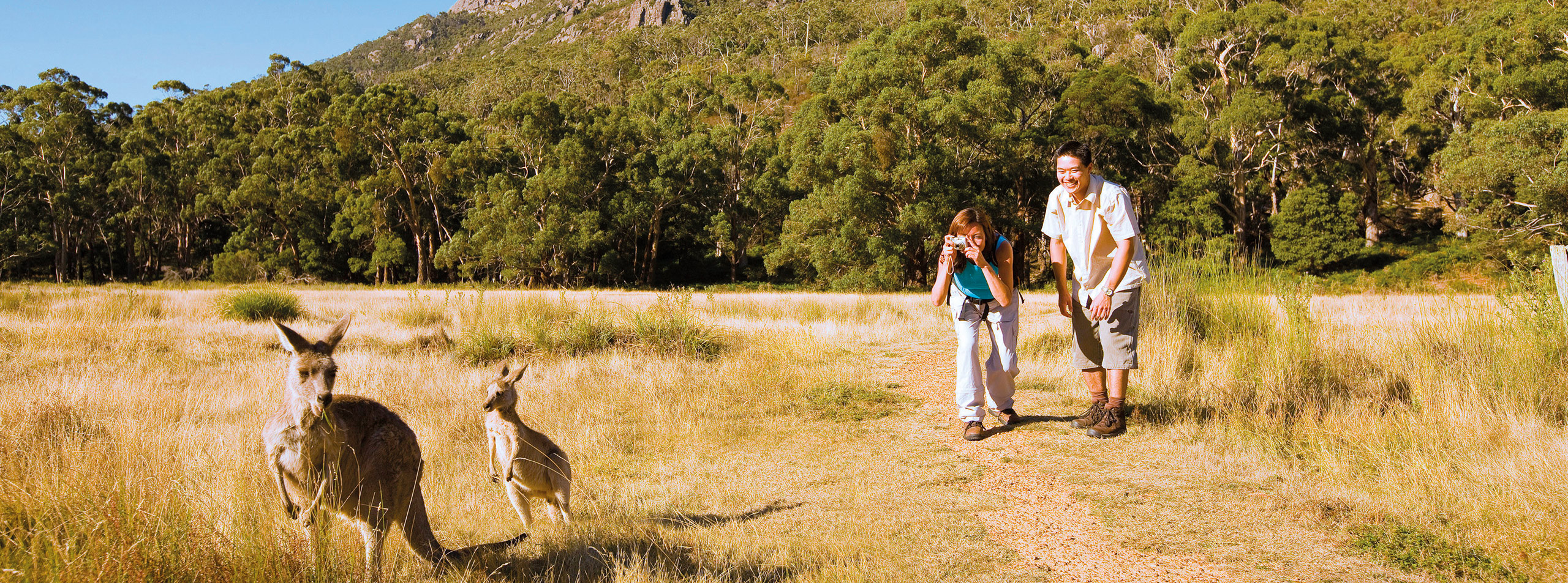 Kangaroos at Halls Gap