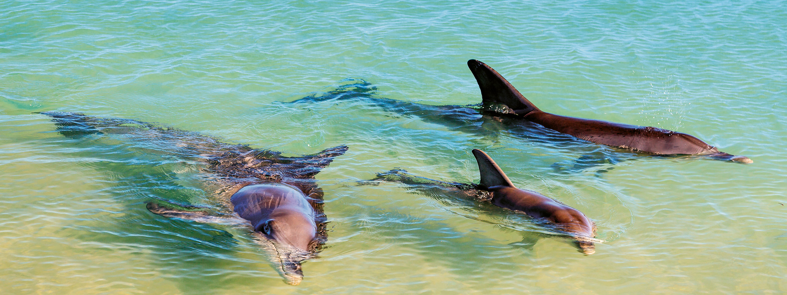 Bottlenose Dolphins, Shark Bay