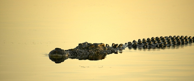 Crocodile, Yellow Water Billabong