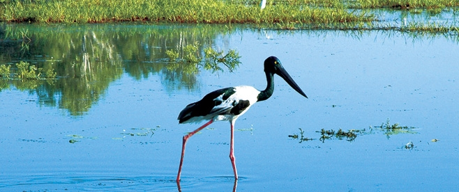 Jabiru bird, Yellow Water Billabong