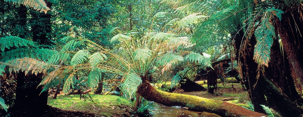 Fern Gully - Dandenong Ranges