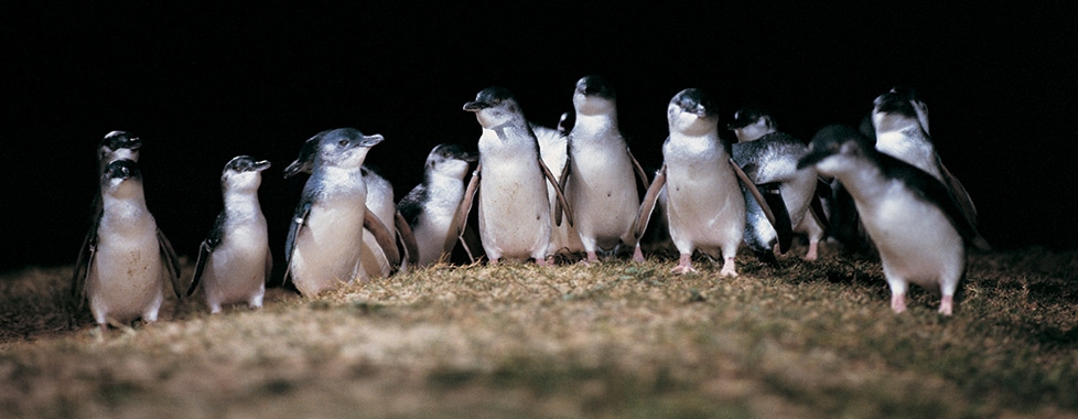 Group of Little Penguins