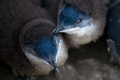 Bicheno Penguin Tour