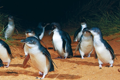Phillip Island - Penguins Up Late