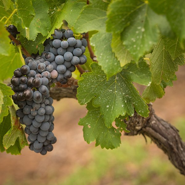 Hunter Valley Half Day Tour From Sydney